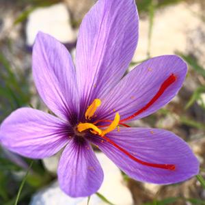 Spanish Saffron